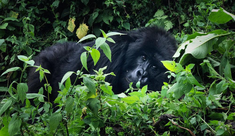 mann_iphone7_gorilla008