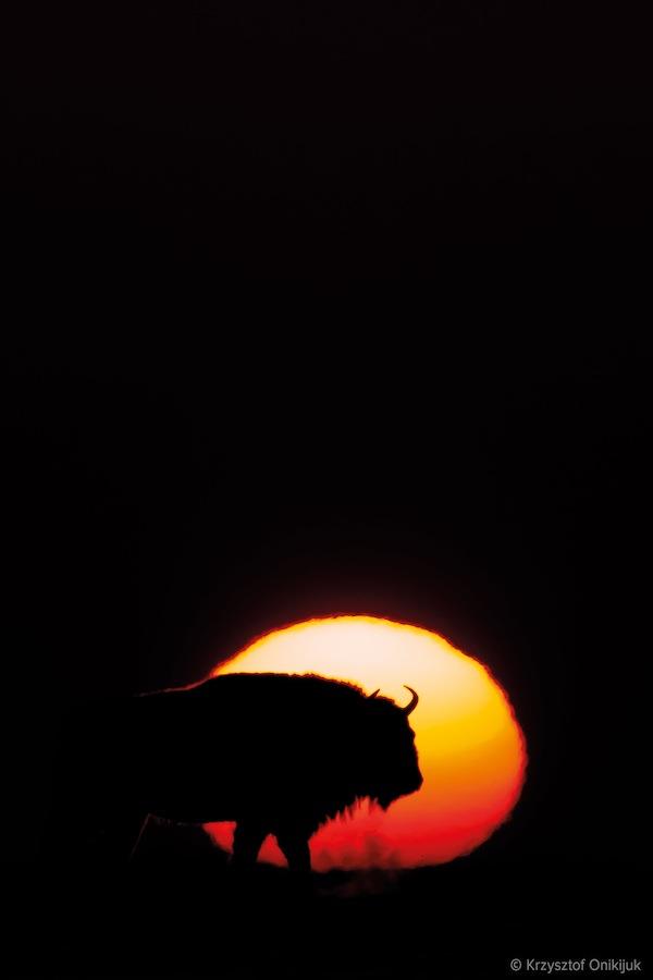 bison-foto-ikona