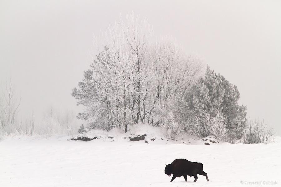 bison-bonasus-app