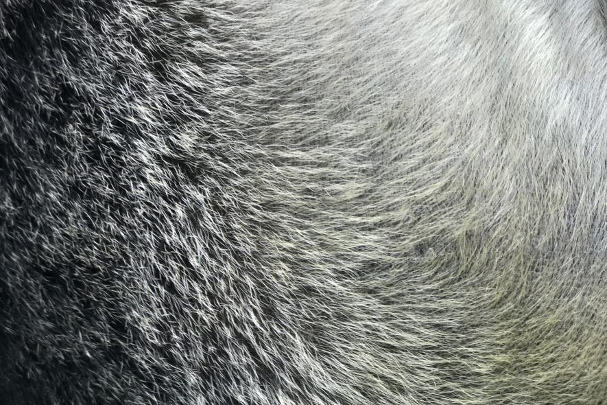 silverback-gorilla-fur-detail-rwanda-ngsversion-1473779190607-adapt-885-1